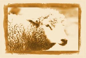 Schaf des Jahres China